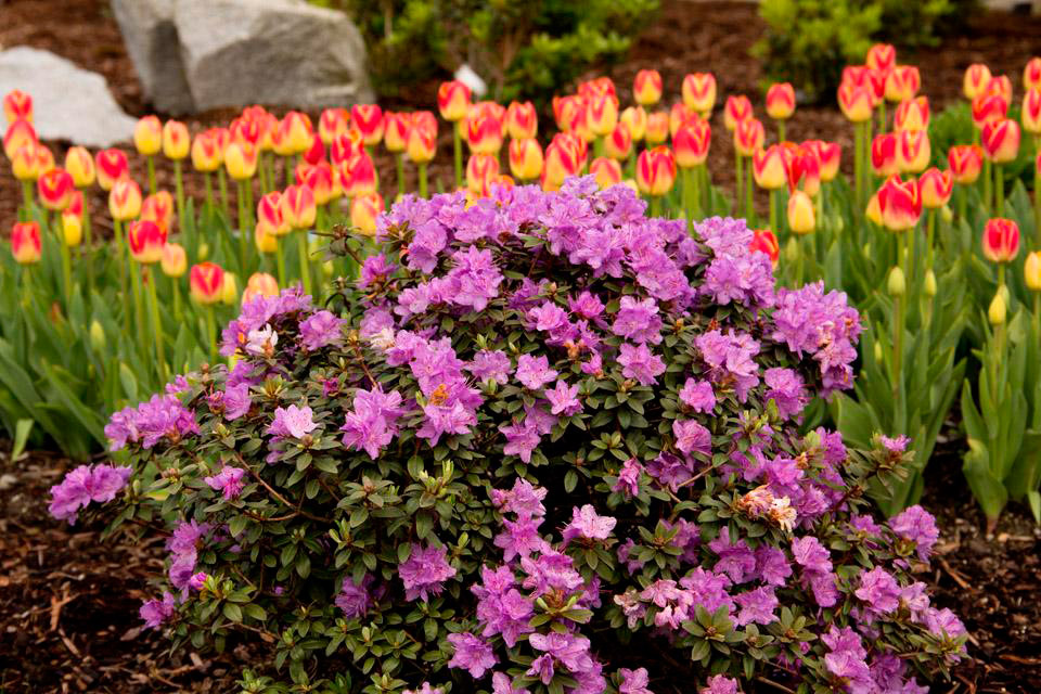 Pink rhododendrons sunnyside nursery mightylinksfo