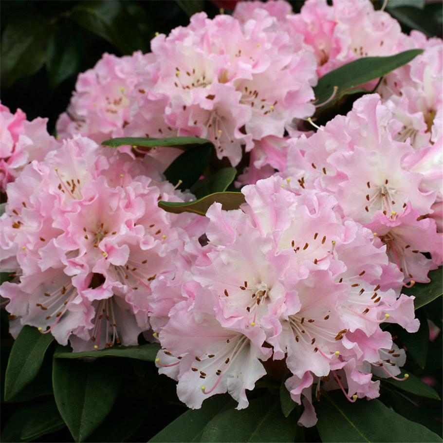 White Rhododendrons Sunnyside Nursery