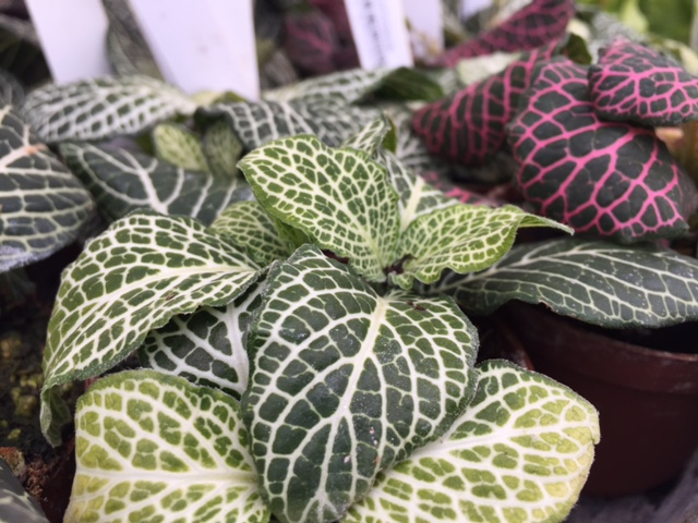 fittonia 'nerve plant' - 2%22.jpg