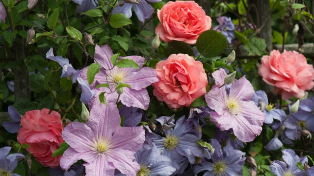 rose and clematis combo.jpg