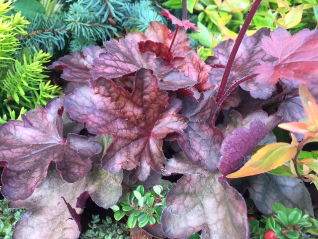 'Plum Pudding' CORAL BELLS (E)