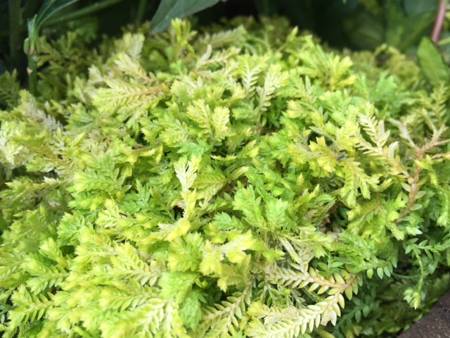 Golden Spikemoss (H)
