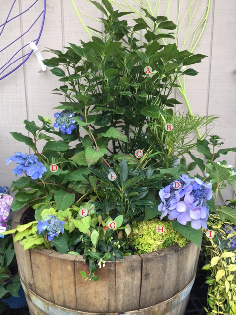 Colorful Cues - A great shade arrangement for a container or part of your yard that will provide long-lasting year 'round interest year after year