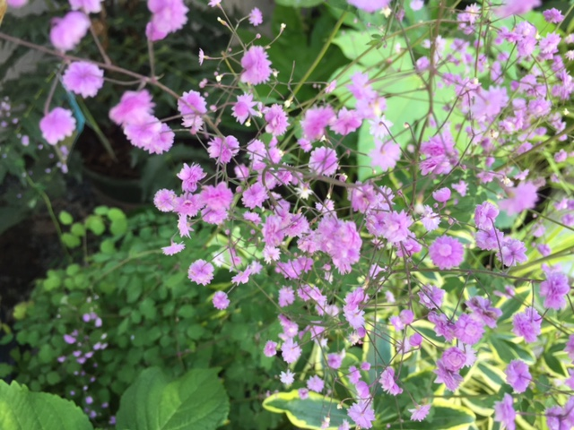Double Meadow Rue (I)