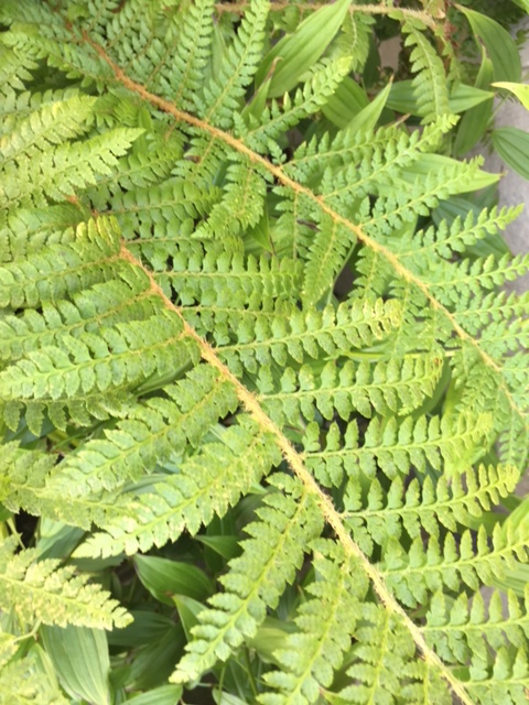 Dyce's Holly Fern (K)