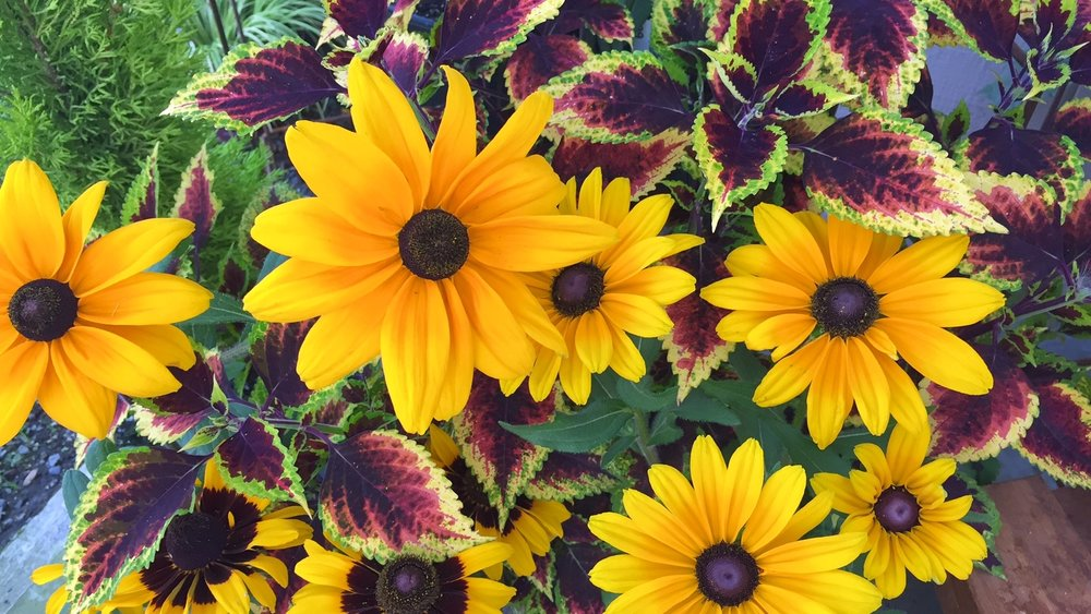 Rudbeckia and coleus.jpg