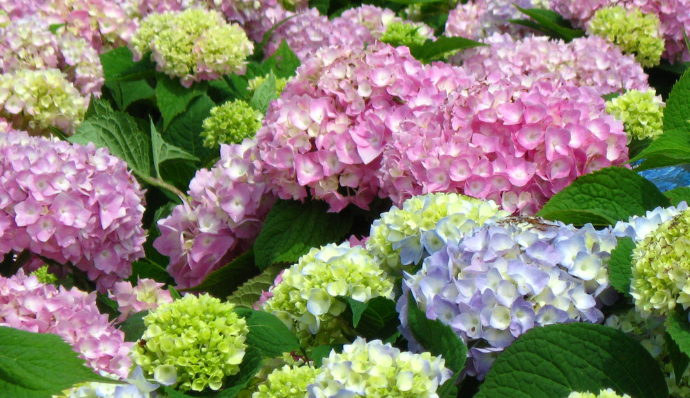 Hydrangea_Endless_Summer-editted.jpg