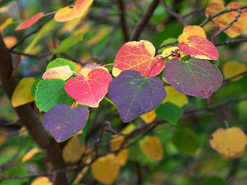Katsura tree in fall.jpg