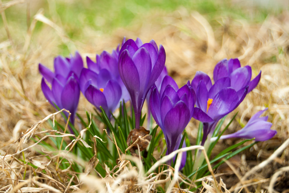 Purple_crocus_group.jpg