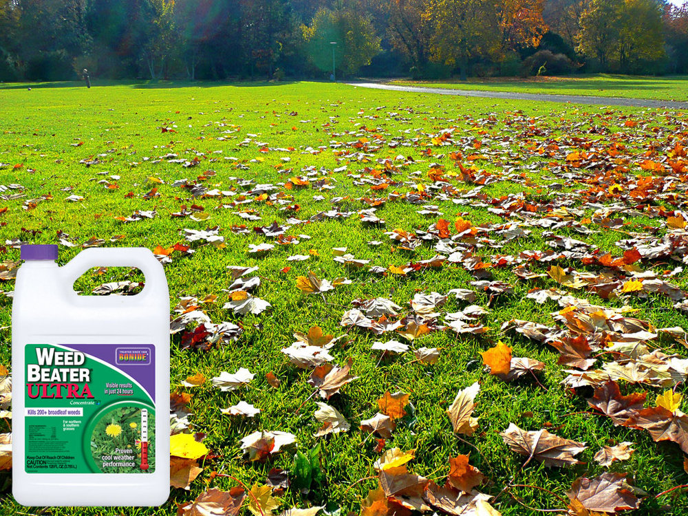 Fall lawn with weed beater.jpg