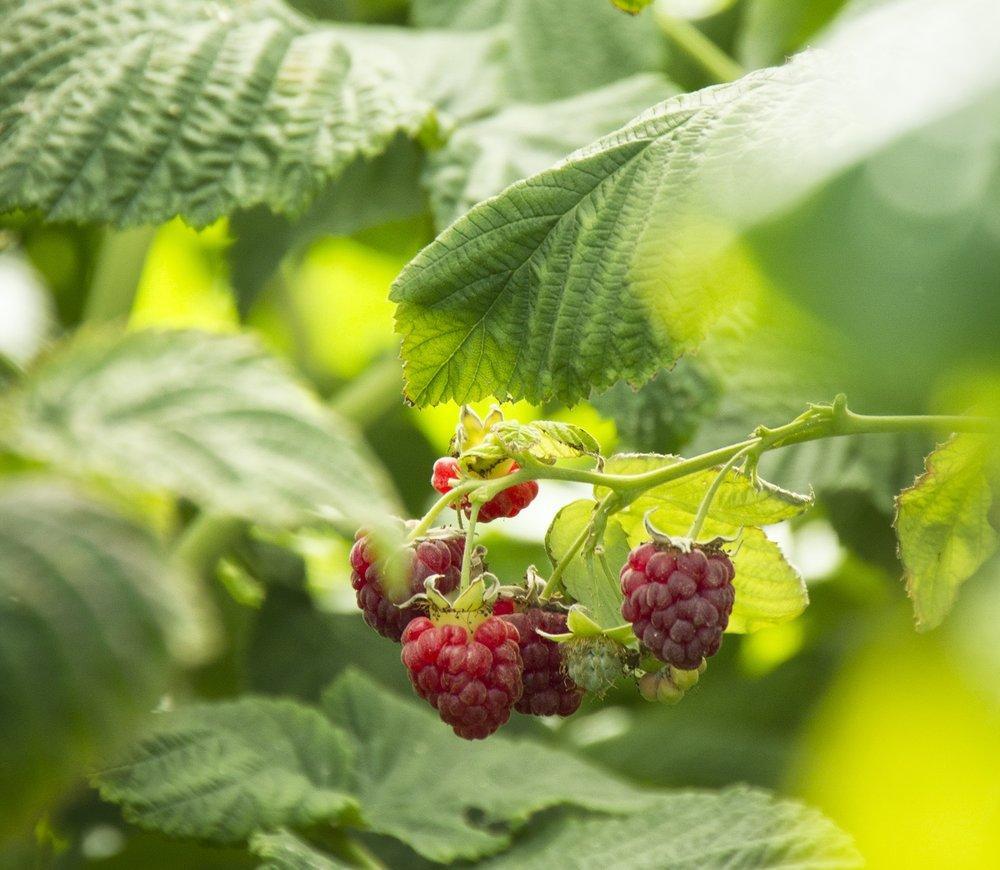 canby raspberry plant.jpg
