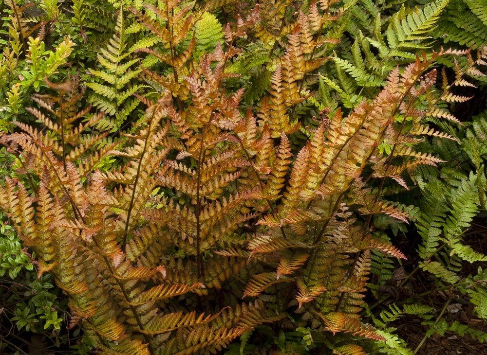 autumn fern monrovia.jpg