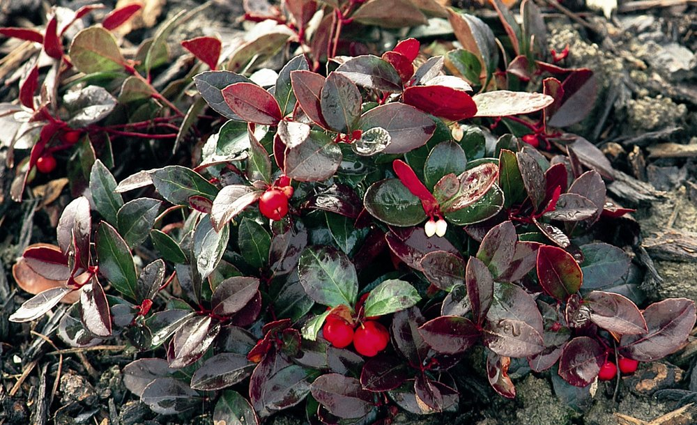 creeping wintergreen.jpg