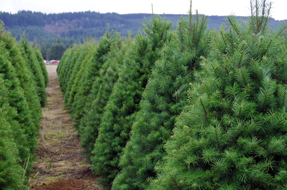 christmas tree farm.jpg