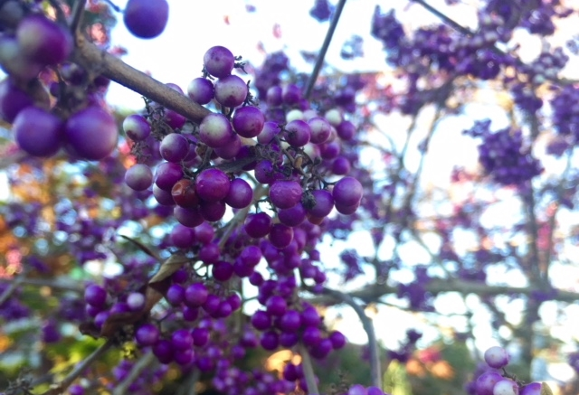 beauty berry in winter.jpg