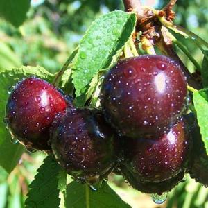 Cherry Black Gold.jpg