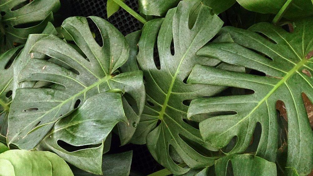 Split-leaf Philodendron.jpg