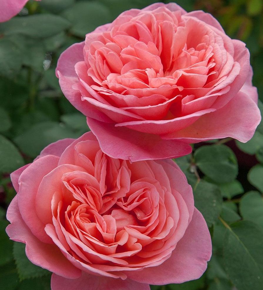 Hybrid Tea Roses Sunnyside Nursery