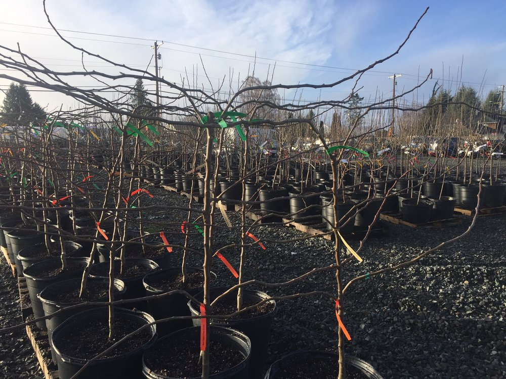 fruit trees just potted up.jpg