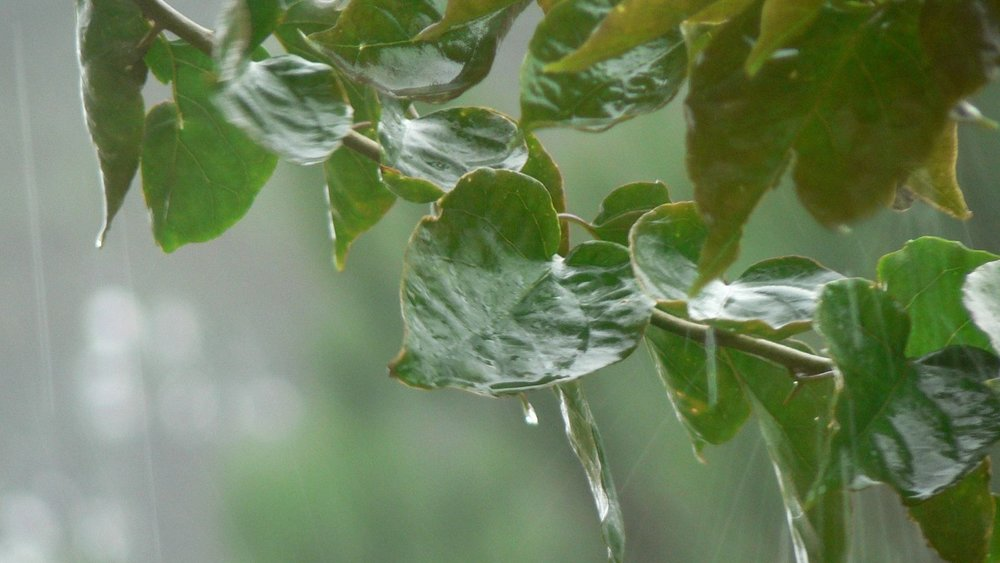 rain on leaves.jpg