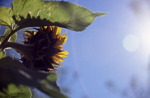 flower-follows-sun.jpg
