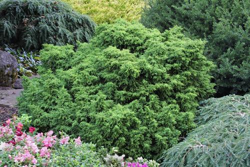 cryptomeria japonica tansu.jpg