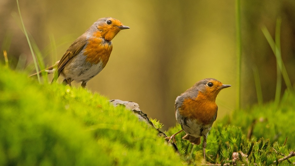 Pair of robins.jpg