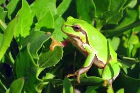 Tree frog3.jpg