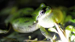 Tree frog5.jpg