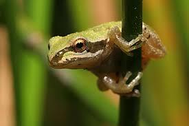 Tree frog4.jpg
