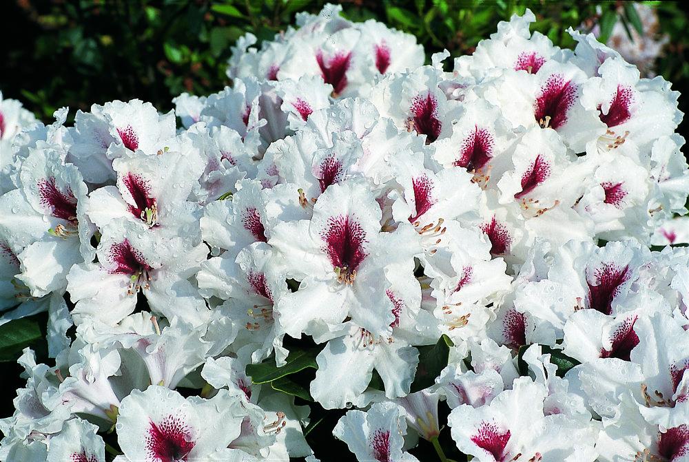 Rhododendron Miyama Picobello.jpg