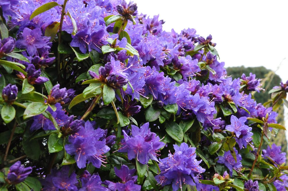 Rhododendron Blue Baron.jpg