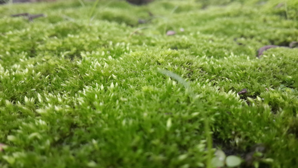 Moss_on_the_Ground_during_Spring.jpg