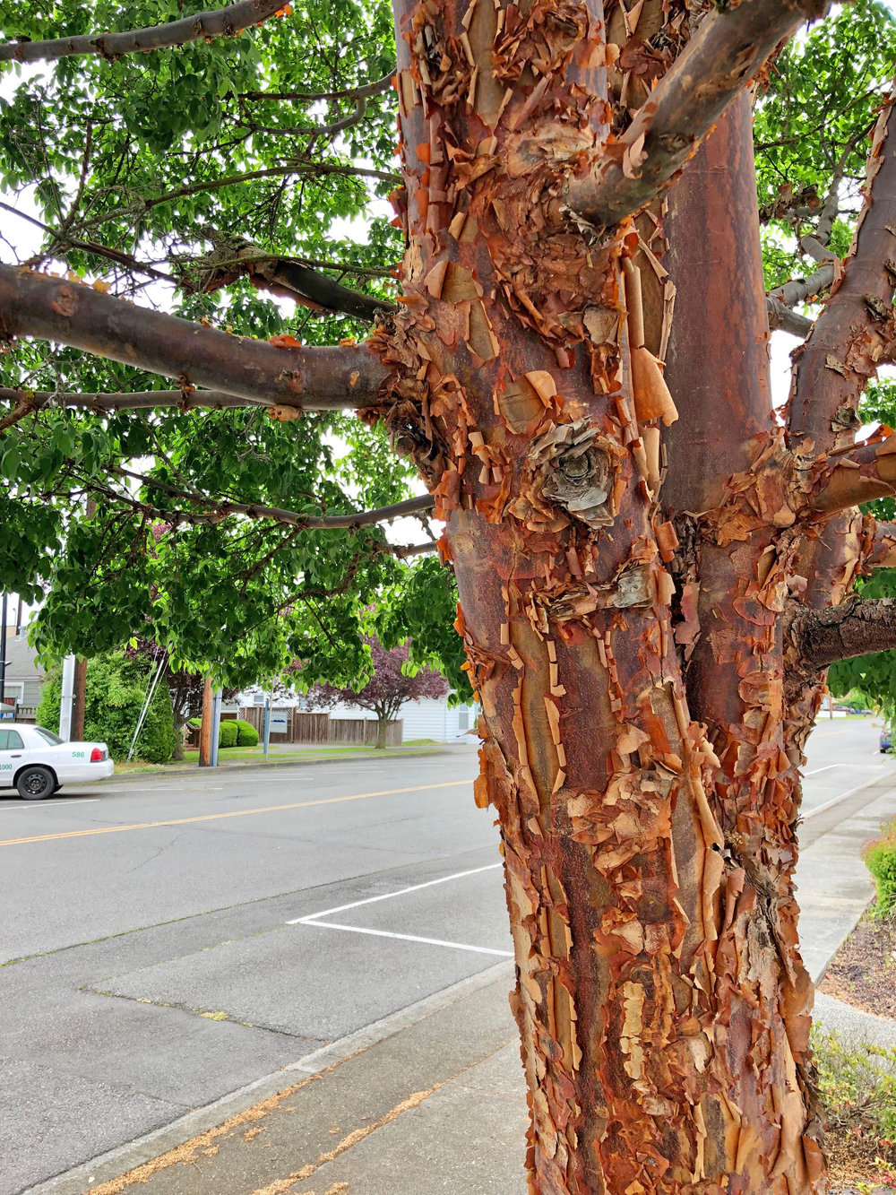 Paperbark maple - Union Bank .jpg