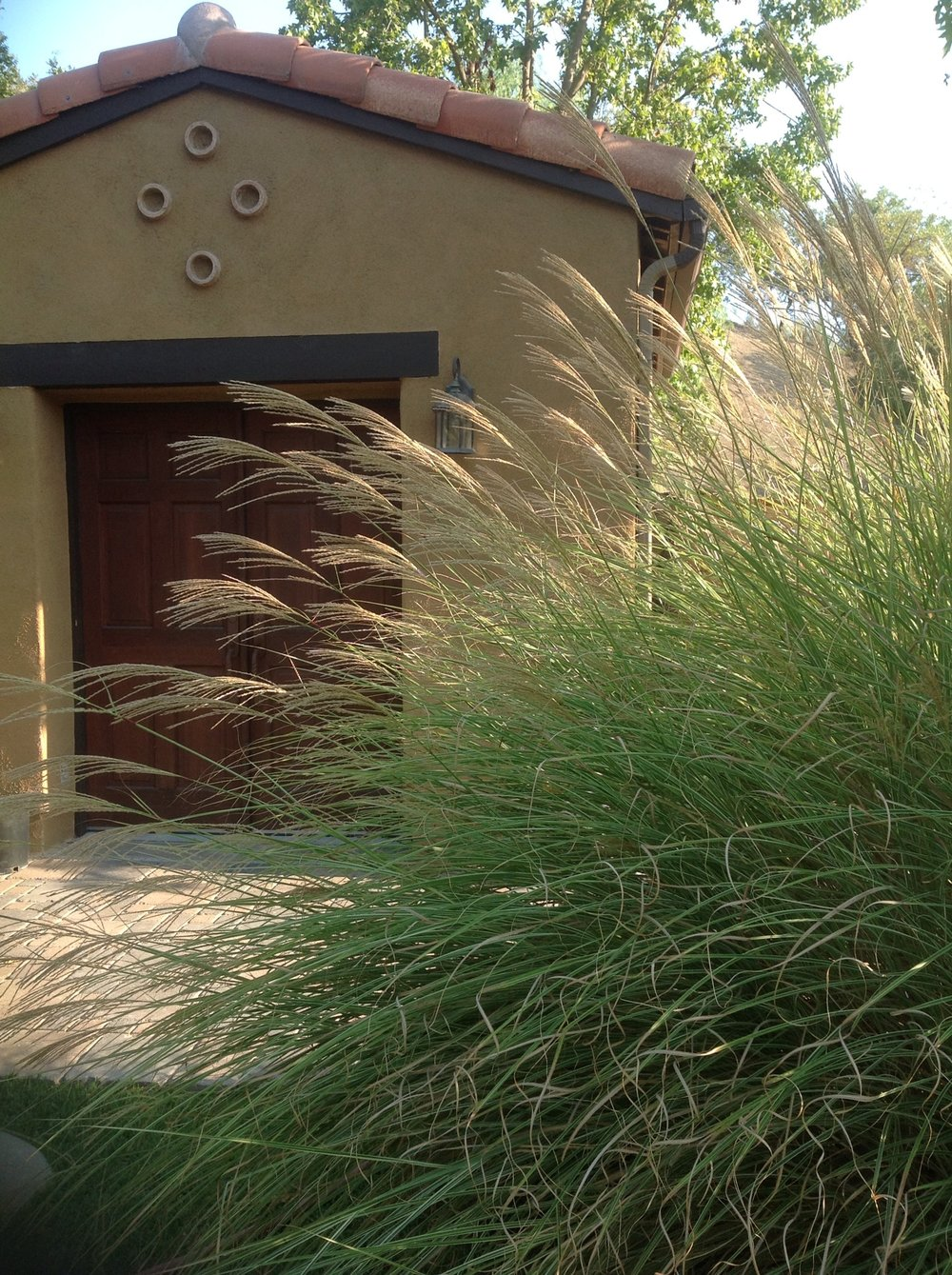 Miscanthus Morning Light - Monrovia.jpg