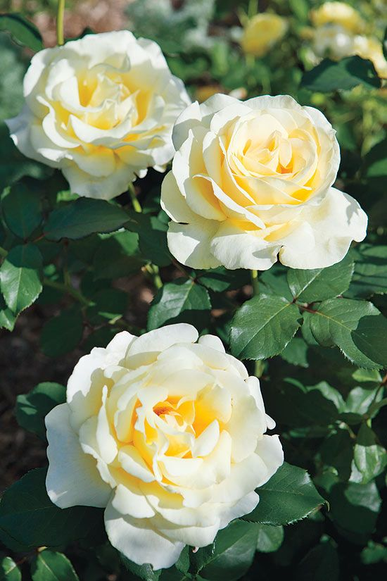 Elina Hybrid Tea rose.jpg