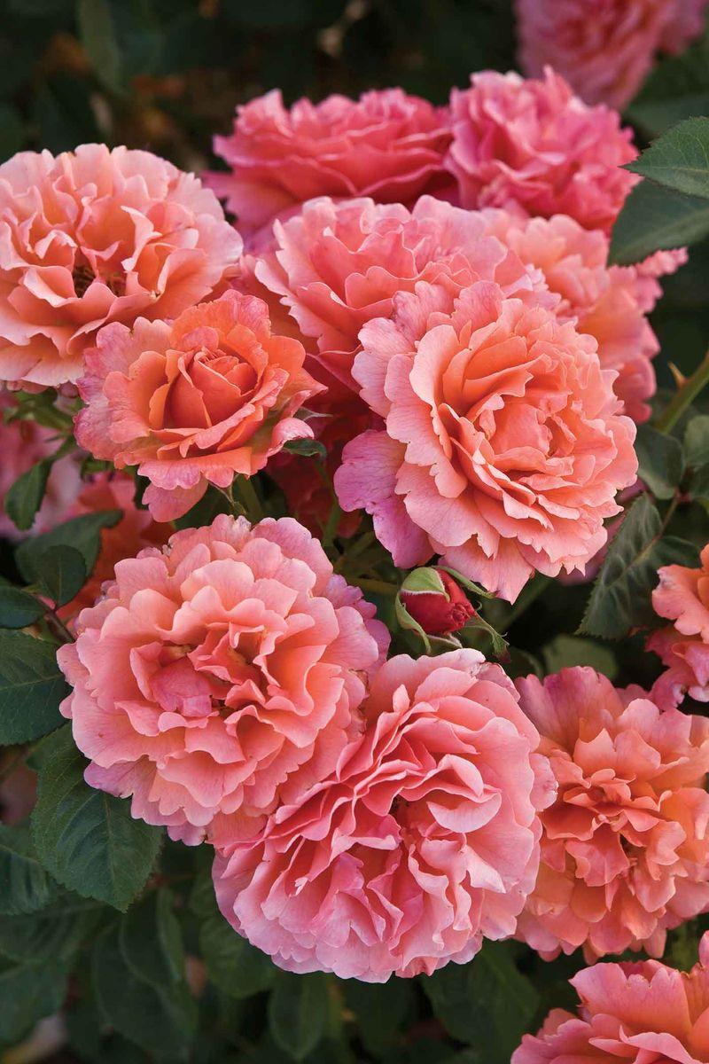 floribunda roses.jpg