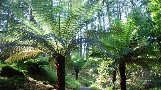 New Zealand Tree Ferns.jpg