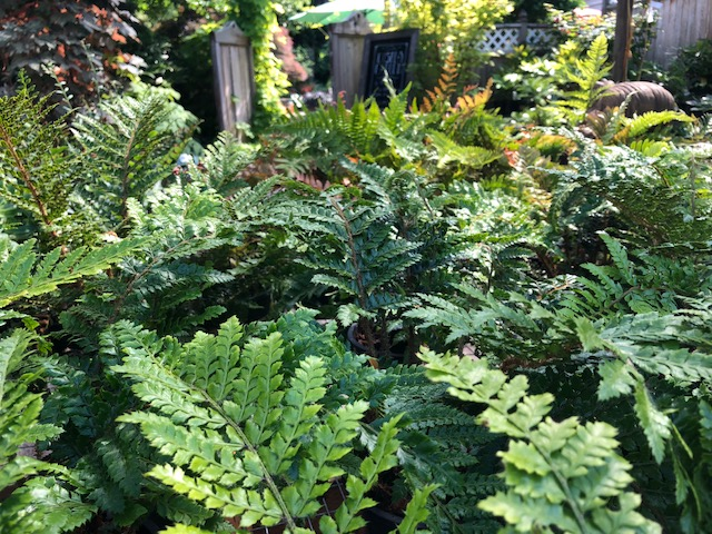 variety of ferns.jpg