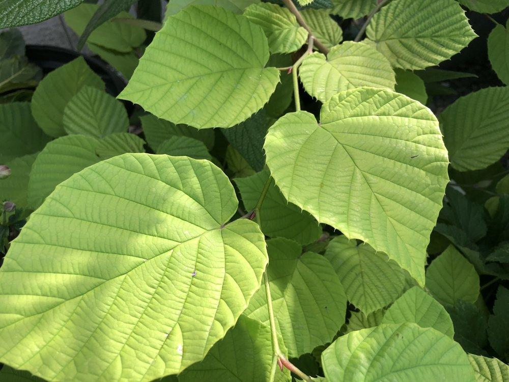'Aurea' Corylopsis spicata