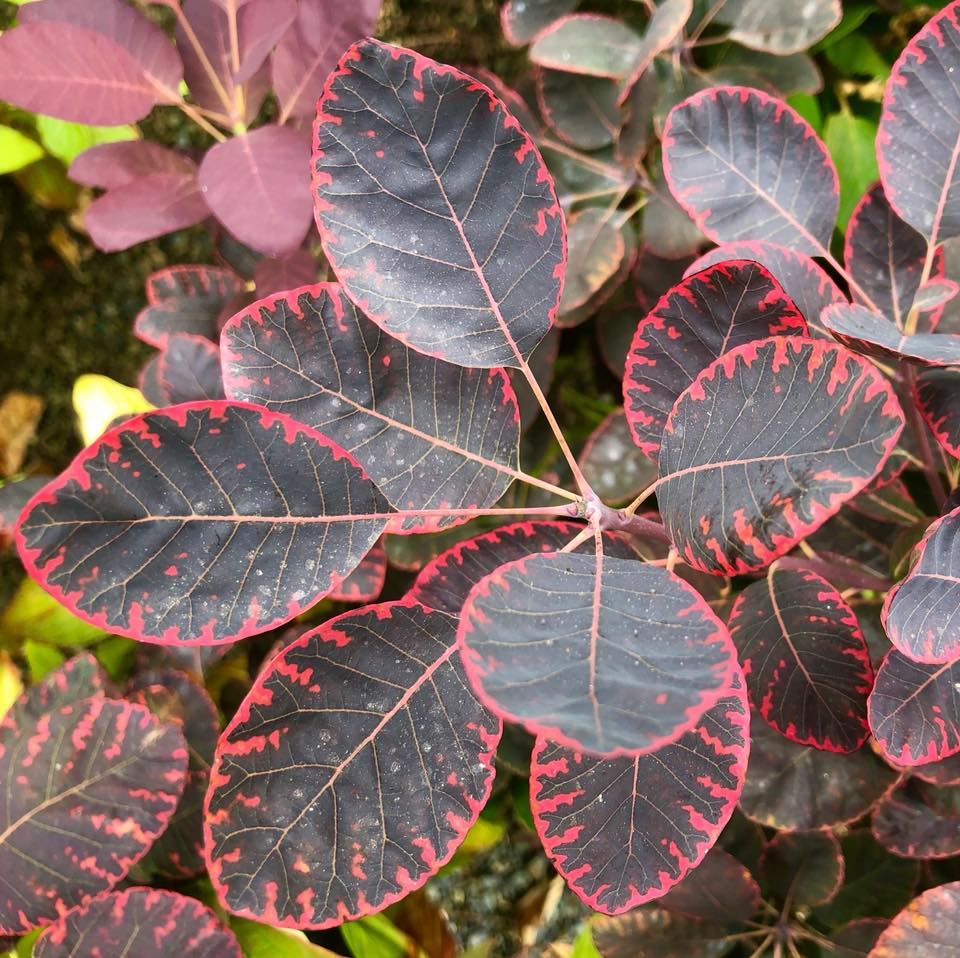 purple smoke bush.jpg