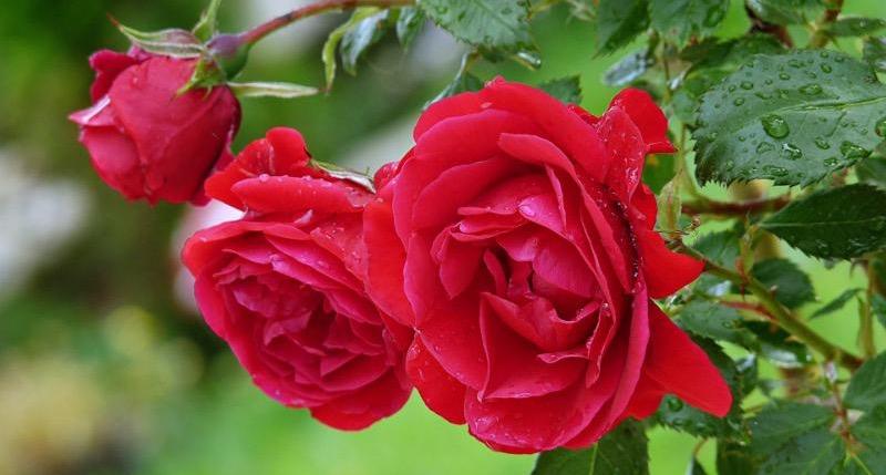 roses in the garden.jpg