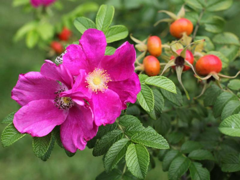 rose and hips on plant.jpg