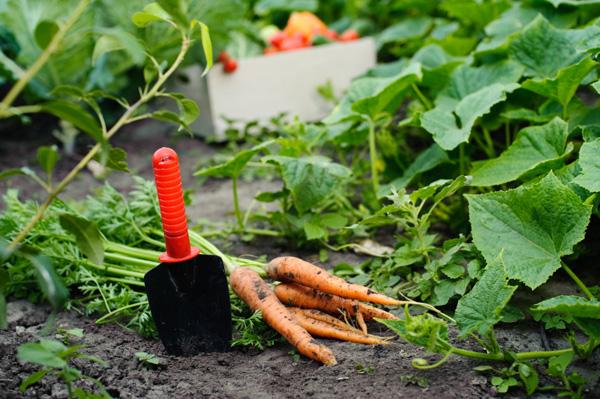 fall-garden-with-carrots.jpg