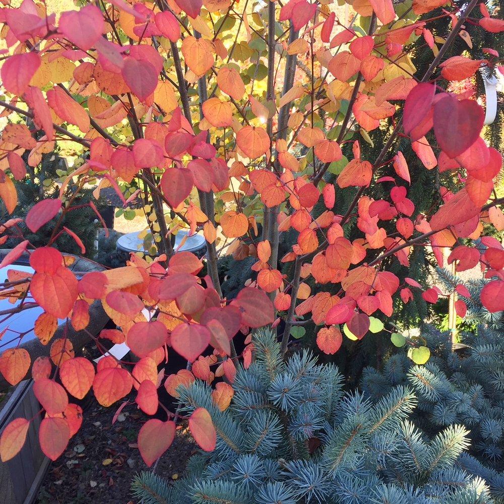 Katsura with fall color.jpg