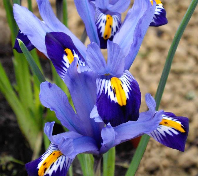 Iris_reticulata_'Gordon'_4.jpg