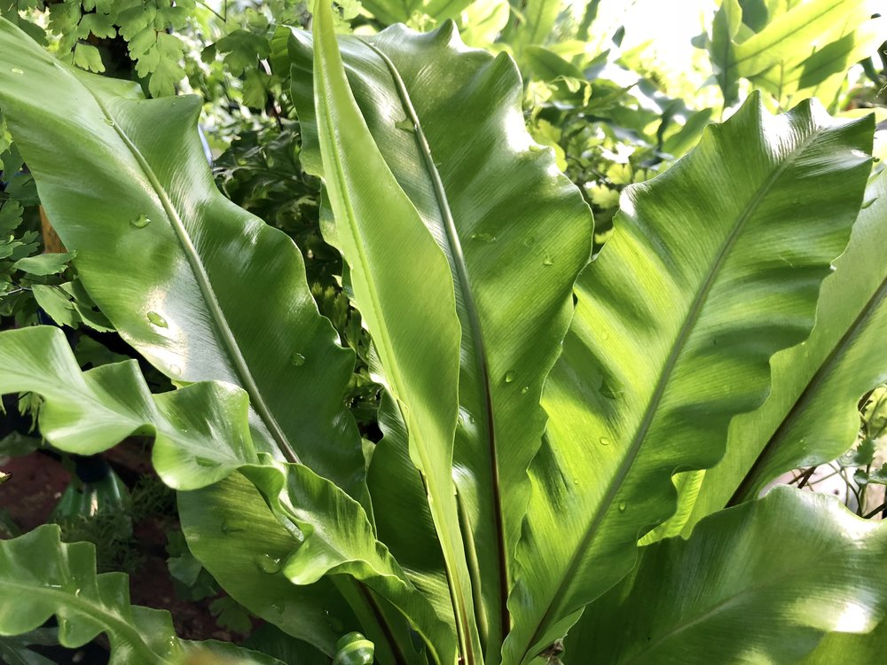 Birds Nest Fern.JPG