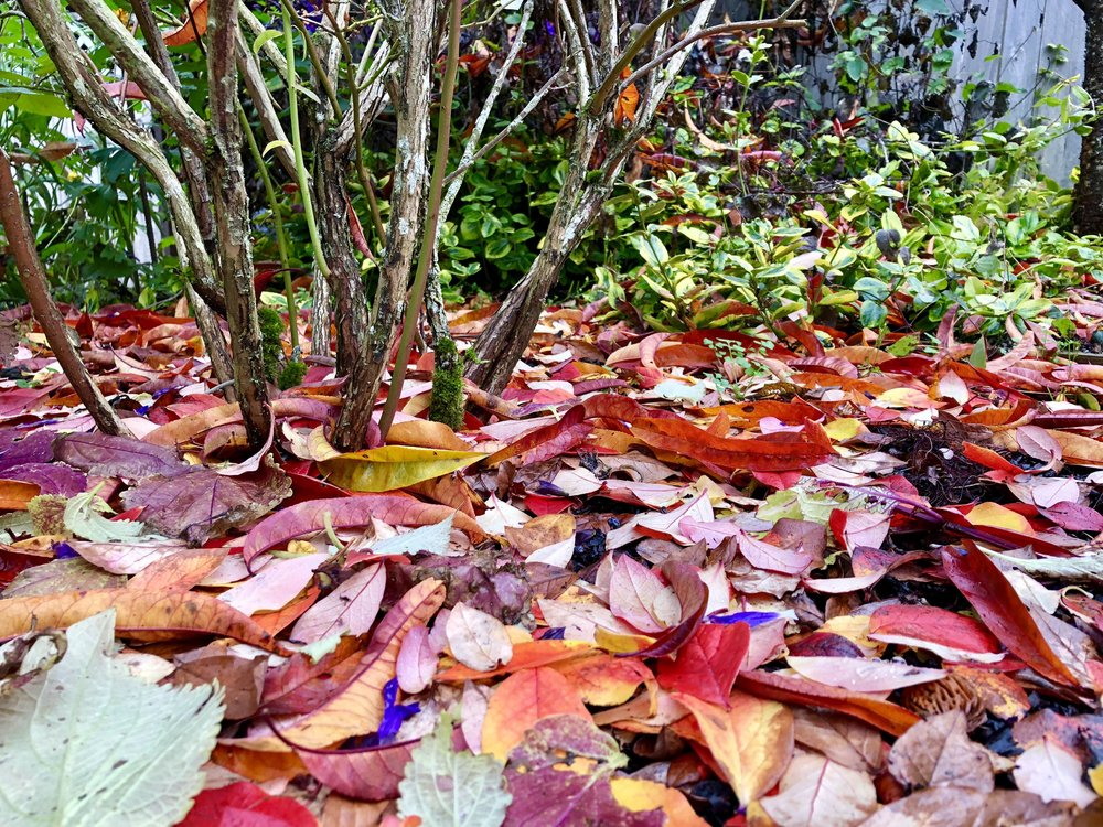 leaves under bare shrub.jpg