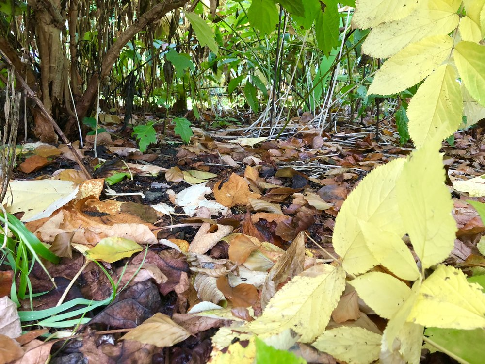 leaves under foliage.JPG