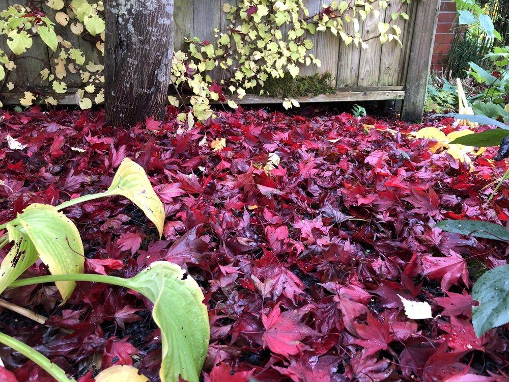 Red leaves under trees.JPG